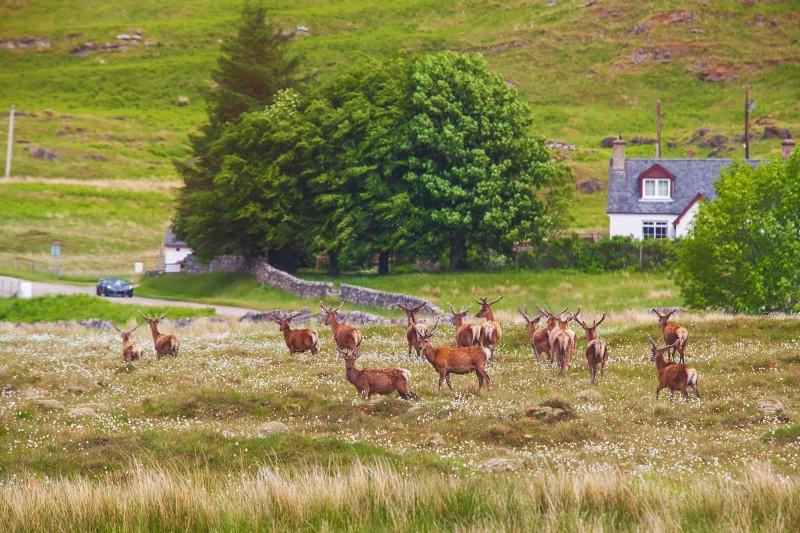 Deer crossing the road. Deer in Highland Wildlife Park in Scotland.